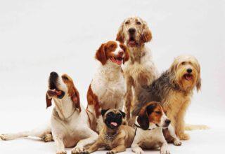 Maxi Köpek Irkı Beslenmesi ve Genel Özellikleri