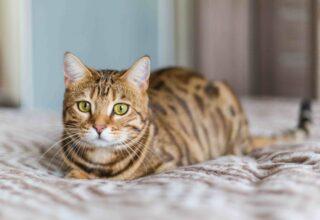 Kedilerde En Çok Görülen Davranış Sorunları Hangileri?