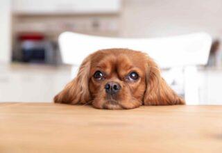 Köpeklerde Kızgınlık Dönemi