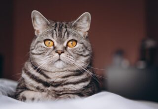 Kısırlaştırılmış Kedilerde Hangi Değişiklikler Yaşanır?