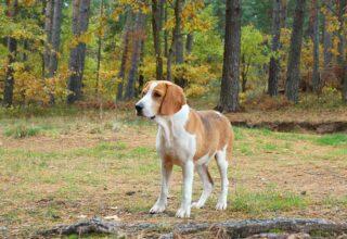 Köpeklerde Eşya ve Yiyecek Gömme Alışkanlığı