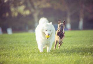 Köpeklerin Metabolizma Hızını Etkileyen Faktörler