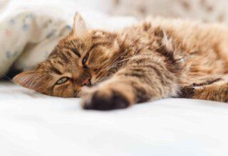 Kedilerde Geçmek Bilmeyen (Kronik) İshal Nedenleri