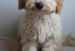 Labradoodle Köpek Cinsi Kökeni, Karakteri, Fiziksel Özellikleri ve Bakımı