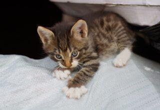 Kedilerde Pika Sendromu Nedir?