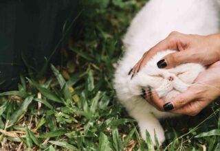 Kedilerde Pire Temizliği ve Pire Damlası Kullanımı