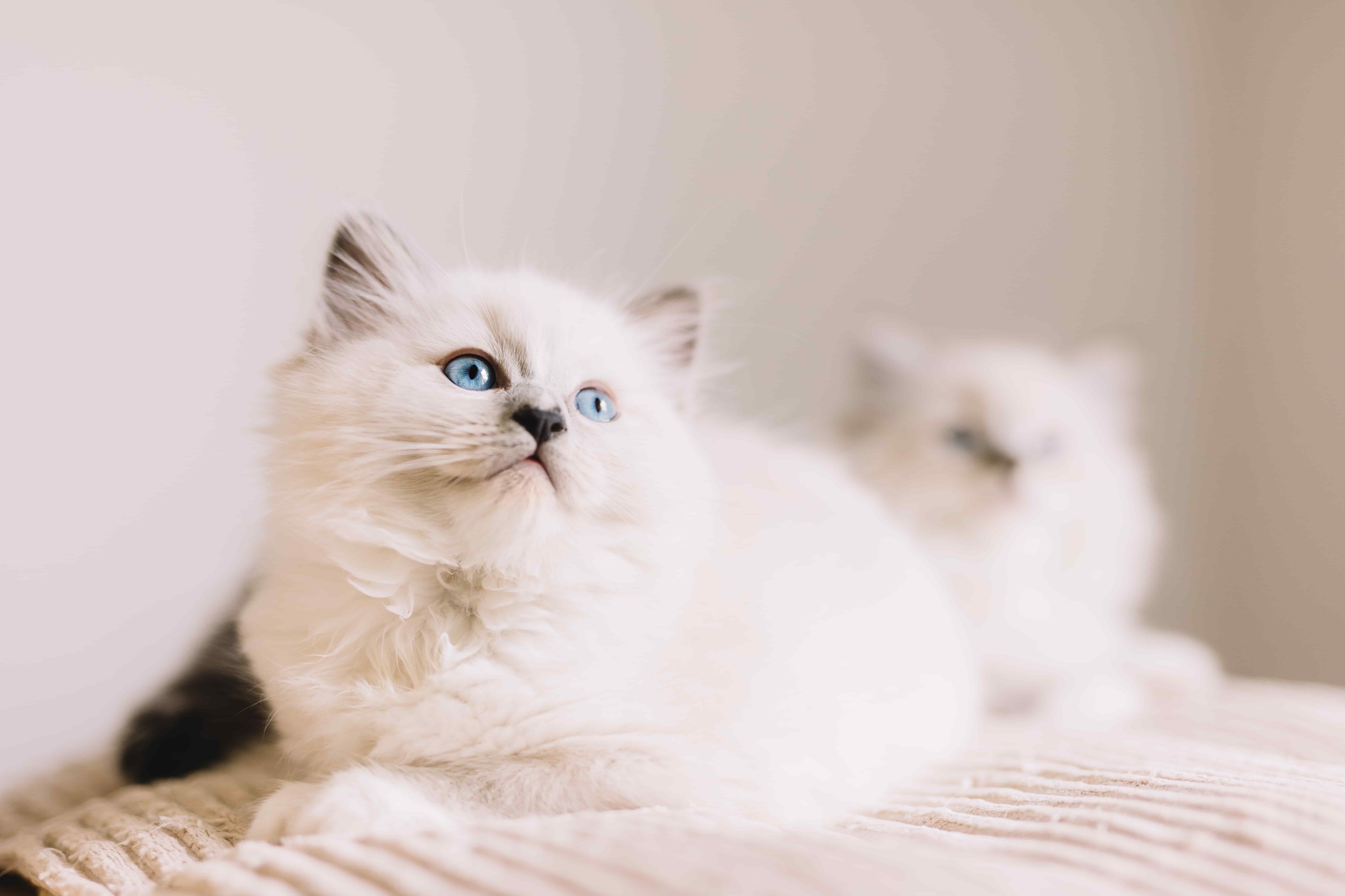 Evde Beslenebilecek Kedi Türleri Hangileri?