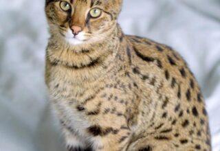 Savannah Kedisi Genel Özellikleri ve Bakım Süreci