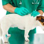 Köpeklerde Prostat Kanseri ve Prostat Hastalığı